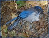 West Nile Blue Bird