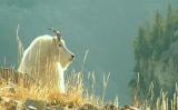 Backlit Mountain goat.jpg