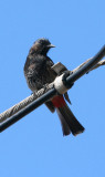 Starlings, mynas, bulbuls