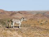 wild burro(s) in the desert