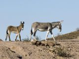wild burro(s) in the desert