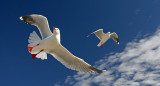Gulls in Flight.jpg