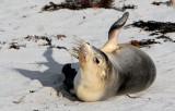 Australian Sea Lion.jpg