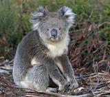 KI Koala.jpg