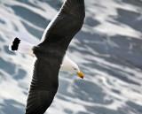 Pacific Gull_4.jpg