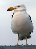 Pacific Gull_5.jpg