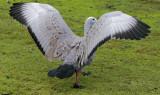 Cape Barren Goose.jpg