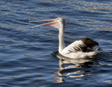 Nepean Bay Pelican.jpg