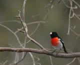 Scarlet Chested Robin.jpg