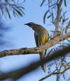 Wattle Bird.jpg