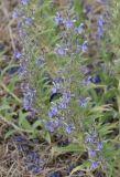 Woolly Blue Curls, a.k.a Vinegar Weed (Trichosstema lanceolatum)