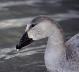 Oies Geese