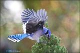 bluewings.jpg