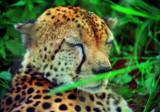 A sleeping Chita in the bush.