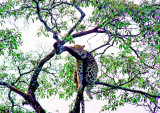A Leopard napping on a tree.