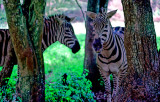 Whispering Zebras