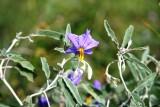 Silver-Leaf Nightshade (Solanum elaeagnifolium)