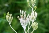 Indian Plantain (Arnoglossum plantagineum)