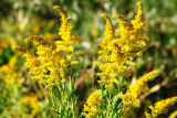 Goldenrod, Downy (Solidago petiolaris)