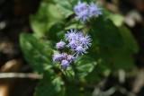 Mist Flower (Conoclinium coellestinium)