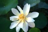 Yellow Lotus (Nelumbo lutea)