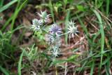 Eryngo (Eryngium levenworthii)