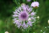 Basket Flower (Centaurea americana)