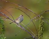Imm White-Crowned Sparrow IMG_3668.jpg
