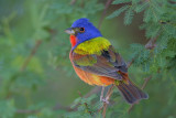 The Rainbow Bird, Who Doesn't Love a Painted Bunting? 08-14-2012
