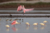 Roseate Spoonbills After Sunset