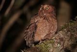 Bare-shanked Screech-Owl