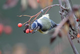 Blue tit and rowan tree (Cyanistes caeruleus)