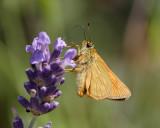 Essex Skipper on lavender