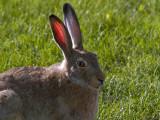 Hares and Jackrabbits