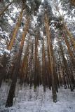 Nieve en el pinar