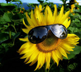 Sunflowers 25