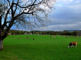 Scattered cows...
