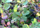 Ripe Berries and Turning Leaves