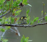 American Redstart in red mangrove.JPG