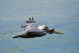Brown Pelican_pez maya_in flight_3.JPG