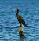 Double crested Cormorant_1.JPG