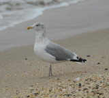 Herring Gull_Cape May_1_Nov 08 SGS.jpg