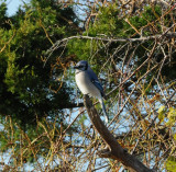 Blue Jay_Cape May_1_SS.jpg
