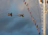 deux canards sous les drapeaux