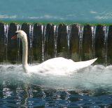 le cygne devant le barrage