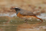 Common Redstart.