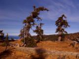 Foxtail pines near Kings Castle