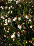 Cassiope heather, John Muir's favorite flower