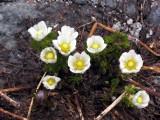 ? Flowers near Man-on-Rock pass