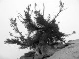 Magnificient White bark pine at Man-on-Rock pass